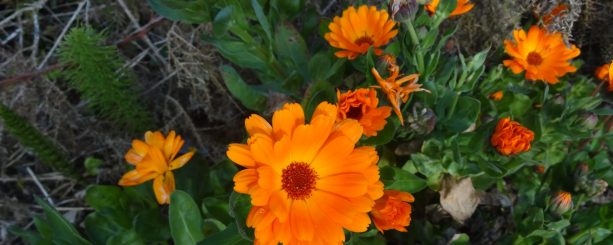 cropped-calendula-assignment-004.jpg